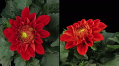 Time-lapse blooming red dahlia in RGB + ALPHA matte format, two cameras - stock footage