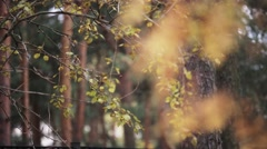 View of yellow leaf on branches of autumn trees in park. Calmly waving on wind Stock Footage