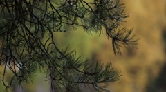 Branch of green pine. Trees with yellow leaf in autumn day in park. Calmly wave Stock Footage