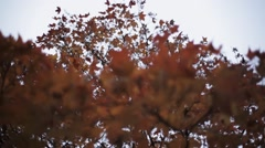 View colorful yellow, red maple leaf on branch of tree in autumn park. Nature Stock Footage
