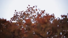 Colorful bright yellow, red maple leaf on branch of tree in autumn park. Nature Stock Footage