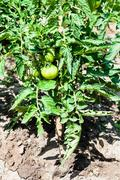 bush with green tomato on garden bed - stock photo