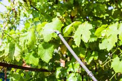 spraying of grape leaves by pesticide - stock photo