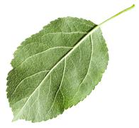 back side of green leaf Apple tree isolated - stock photo
