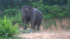 View of an elephant eating palm leaves on a hill in Phuket Stock Footage