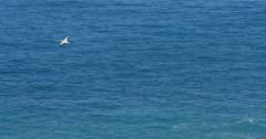 Gannet bird colony nesting in Murawai Beach, Auckland, New Zealand Stock Footage