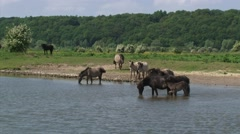 Konik horses, herd wading in river Rhine. Stock Footage