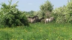 Konik horse, herd running in hawthorn landscape Stock Footage