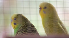 Two colorful parrots Stock Footage