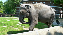Beautiful Big Elephant in a Zoo - stock footage