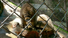 Raccoons in a Zoo eats Fish and Other Food - stock footage