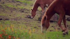 Horses eating grass, Hanga Roa, Easter Island - stock footage
