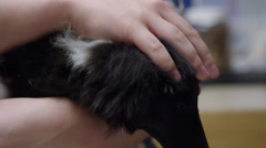 Close up of nurse at veterinary clinic petting a young sheltie dog Stock Footage
