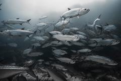 Large tarpon (Megalops atlanticus) gather around reefs, Xcalak, Quintana Roo, Stock Photos