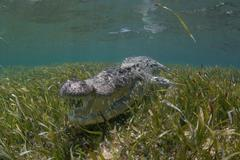 Underwater view of American crocodile (crodoylus acutus) in shallow waters of Stock Photos