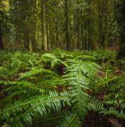 Close up of swordfern, Lynn Canyon Park, North Vancouver, British Columbia, - stock photo