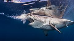 Great white shark near water surface Kuvituskuvat