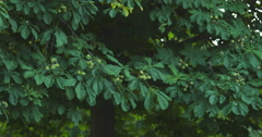 Chestnut tree in summer day pan move Stock Footage