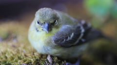 Young goldfinch after window collision - stock footage