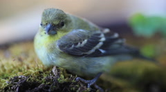 Juvenile goldfinch - stock footage