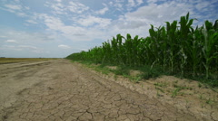 Drought conditions in cultivated corn field Stock Footage