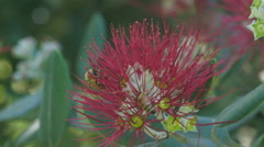 Honeybee collecting nectar on a pohutukawa flower in slow motion Stock Footage