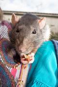 Black pet rat perched on shoulder, closeup - stock photo
