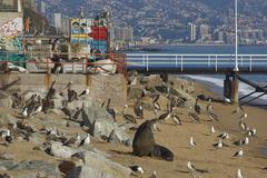 VALPARAISO, CHILE - JULY 5, 2016: Wildlife on the Beach Kuvituskuvat