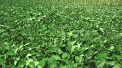 Soybean crops field on windy day - stock footage