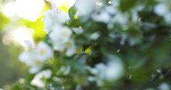 beautiful jasmine white flowers in summer day folcus pull - stock footage
