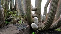 Camera slide though cactus. echinocactus polycephalus Stock Footage