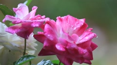Rain falling on roses Stock Footage