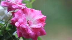 Pink and white rose in the rain Stock Footage