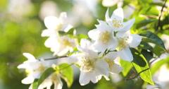 Beautiful jasmine white flowers in summer sunset Stock Footage