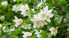 Beautiful jasmine white flowers in summer day handheld video Stock Footage
