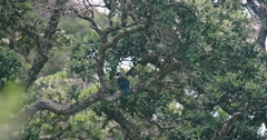Tui bird on Tiritirimatangi island, auckland, new zealand Stock Footage