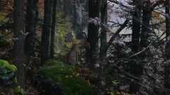 Eurasian lynx (Lynx lynx) sitting and scanning woodland for prey in autumn Stock Footage