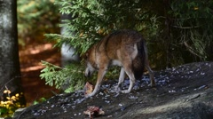Gray wolf / grey wolf (Canis lupus) devouring prey in autumn forest - stock footage