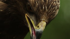 Close up view of a golden eagle (Aquila chrysaetos) head - stock footage