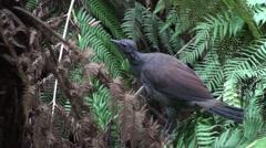 Australia Lyrebird Bird in Dark Forest Stock Footage