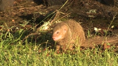 Wild Small Asian Mongoose in Hawaii Stock Footage