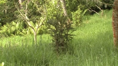 Very Rare Hawaiian Plant Haha Cyanea shipmanii at Hakalau Refuge in Hawaii - stock footage