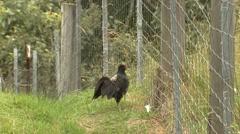 Kalij Pheasant Gamebird on Big Island Hawaii Walking Along Fence Stock Footage