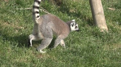 Ring Tailed Lemur Walking in the Grass Stock Footage