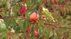 Native Hawaiian I'iwi Red Honeycreeper Bird Feeding on Flowers Stock Footage