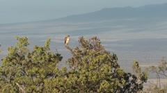 Hawaiian Hawk Bird Perched in Mountain Terrain of Big Island Stock Footage