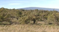 Pan of Hawaii Mamane Forest on Mauna Kea Big Island Stock Footage