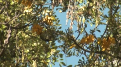 Hawaii Bird Amakahi Honeycreeper Foraging on Nectar in Mamane Flower Stock Footage