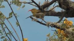 Immature I'iwi Native Scarlet Honeycreeper Bird in Hawaii Stock Footage