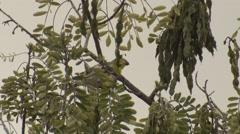 Rare Endangered Hawaii Bird Palila Feeding on Mamane Tree Stock Footage
